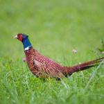 Pheasant Breeder – Owner – MacFarlane Pheasants